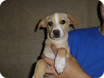 Beagle Mix Puppy for adoption in Oviedo, Florida - Fran