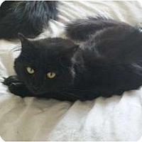 Adopt A Pet :: Braveheart - Portland, ME