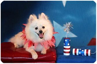 Pomeranian Dog for adoption in conroe, Texas - Joey
