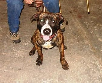 Boxer Mix Dog for adoption in Amherst, Ohio - DASH-WANTS TO PLEASE
