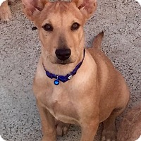 Adopt A Pet :: Ginger - Long Beach, CA