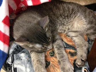 Domestic Shorthair Cat for adoption in Fresno, California - Nuni