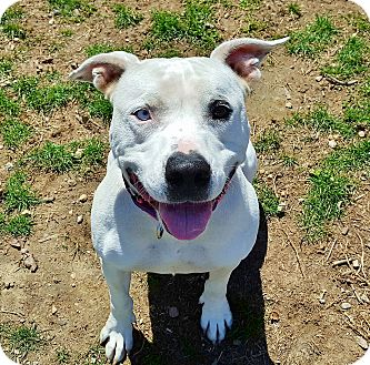 Pit Bull Terrier Mix Dog for adoption in Peace Dale, Rhode Island - Sissy