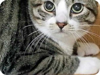 Domestic Shorthair Cat for adoption in Brooklyn, New York - Emily - ADOPTED!