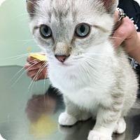 Adopt A Pet :: Pablo Picatso - Chicago, IL