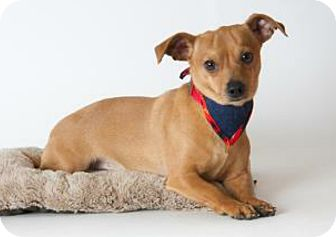 Miniature Pinscher/Dachshund Mix Dog for adoption in Concord, California - Maurice