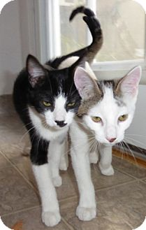 Domestic Shorthair Kitten for adoption in Mission Viejo, California - Atticus and Stenson
