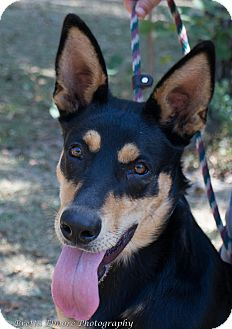 Doberman Pinscher/German Shepherd Dog Mix Dog for adoption in Daleville, Alabama - Sheeba