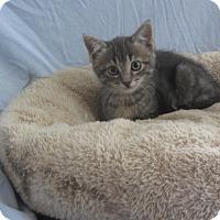 Adopt A Pet :: Lady Grey - Ridgway, CO