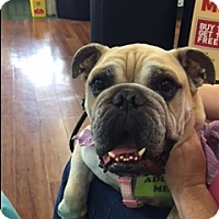 English Bulldog Dog for adoption in Fort Lauderdale, Florida - FRANCIS