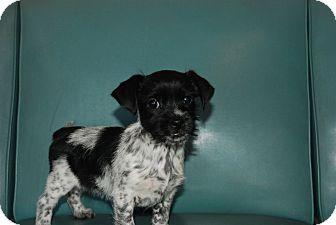 Shih Tzu/Schnauzer (Miniature) Mix Puppy for adoption in Harrisburgh, Pennsylvania - Mayla