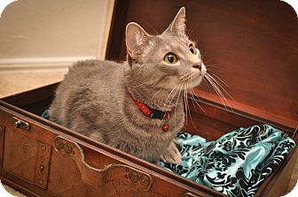 Domestic Shorthair Cat for adoption in St. Louis, Missouri - Dill