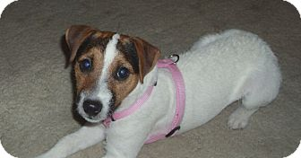 Jack Russell Terrier Dog for adoption in Scottsdale, Arizona - CLEO