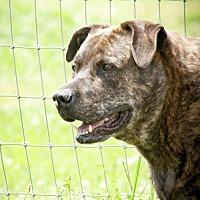 Labrador Retriever Mix Dog for adoption in Poland, Indiana - Dylan