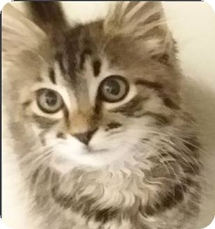 Domestic Mediumhair Kitten for adoption in Red Bluff, California - Brown Tabby