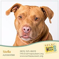 American Staffordshire Terrier Mix Dog for adoption in Santa Paula, California - Stella
