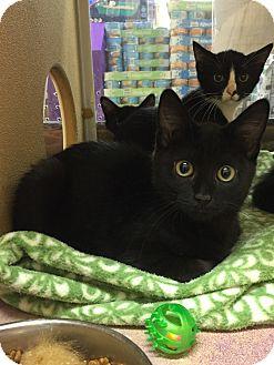 Domestic Shorthair Kitten for adoption in Rochester, Minnesota - Jet
