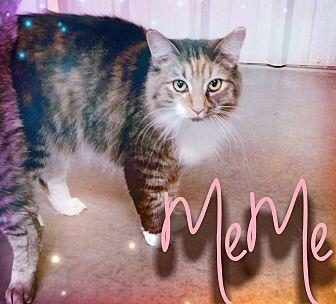 Calico Cat for adoption in Odessa, Texas - Meme