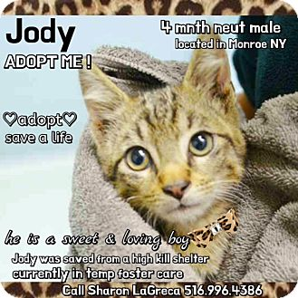 Domestic Shorthair Kitten for adoption in Bedford Hills, New York - Jody