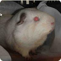 Adopt A Pet :: *Urgent* Pickles - Fullerton, CA