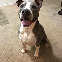 Adopt A Pet :: Renzo - Gilbert, AZ
