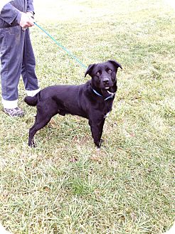 Labrador Retriever Mix Dog for adoption in Zanesville, Ohio - # 510-12 RESCUED!