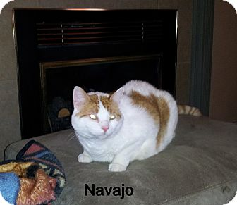 Domestic Mediumhair Cat for adoption in Catasauqua, Pennsylvania - Navajo