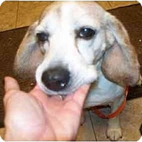 Adopt A Pet :: Gordy - Indianapolis, IN