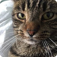 Domestic Shorthair Cat for adoption in Muskegon, Michigan - Gibson