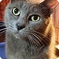 Domestic Shorthair Cat for adoption in Philadelphia, Pennsylvania - Viola