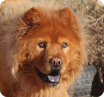 Chow Chow Dog for adoption in Eastsound, Washington - TITO