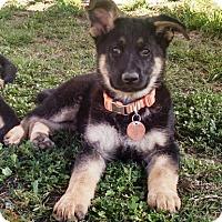 Adopt A Pet :: Citrona - Modesto, CA