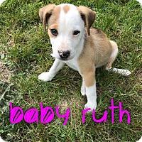 Adopt A Pet :: Baby Ruth - Garden City, MI