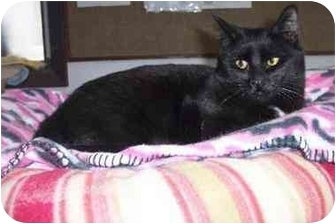 Domestic Shorthair Cat for adoption in Quincy, Massachusetts - Kaley