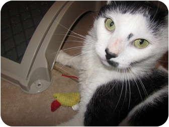Domestic Shorthair Cat for adoption in Pascoag, Rhode Island - Lester