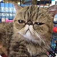 Adopt A Pet :: Laya - Beverly Hills, CA