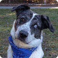 Adopt A Pet :: Asimov - Mocksville, NC