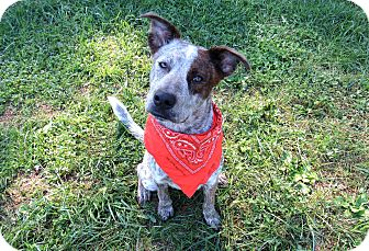 Australian Cattle Dog Mix Dog for adoption in Lexington, North Carolina - Rugby