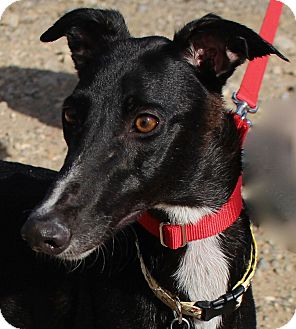 Greyhound Dog for adoption in Tucson, Arizona - Dee Dee