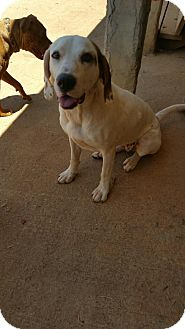 Labrador Retriever Mix Dog for adoption in Demorest, Georgia - Aleeta May