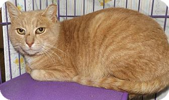 Domestic Shorthair Cat for adoption in Orleans, Vermont - Beethoven