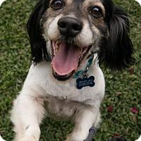 Adopt A Pet :: Bernardo - Toluca Lake, CA