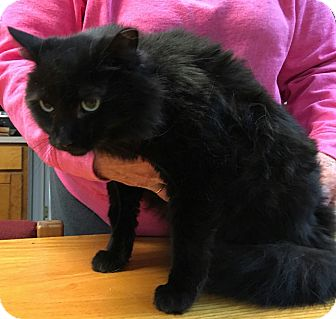 Domestic Longhair Cat for adoption in Albemarle, North Carolina - Caroline