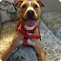 Adopt A Pet :: Lily Rose - Plainfield, IL