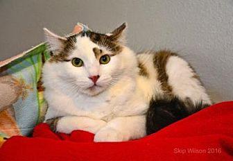 Domestic Mediumhair Cat for adoption in Neenah, Wisconsin - Kenyon