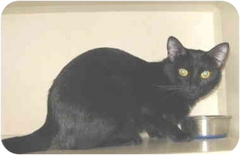 Domestic Shorthair Cat for adoption in Mesa, Arizona - Ebony