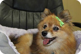 Pomeranian Mix Dog for adoption in Waldorf, Maryland - Amber