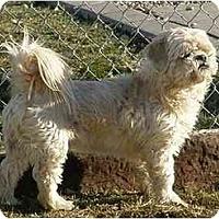 Adopt A Pet :: Cream Puff - Meridian, ID