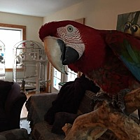 Macaw for adoption in Blairstown, New Jersey - Envy- greenwing