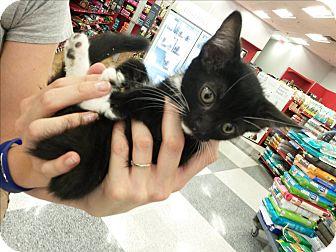 Domestic Mediumhair Kitten for adoption in Monrovia, California - Mocha